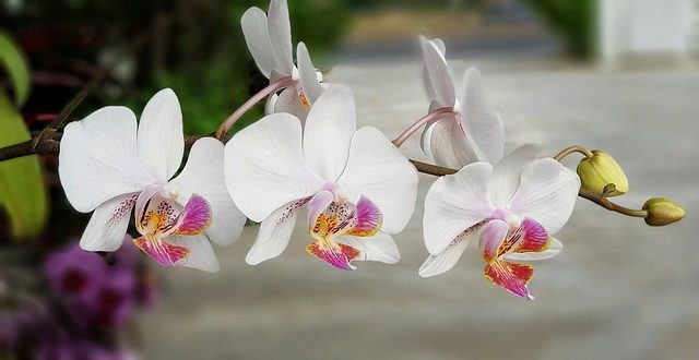 E Curare Le Orchidee