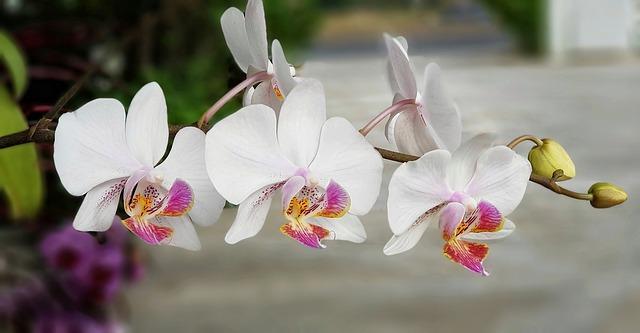 cura orchidee